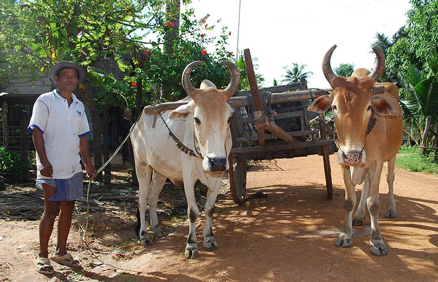 カンボジアの農村の牛車